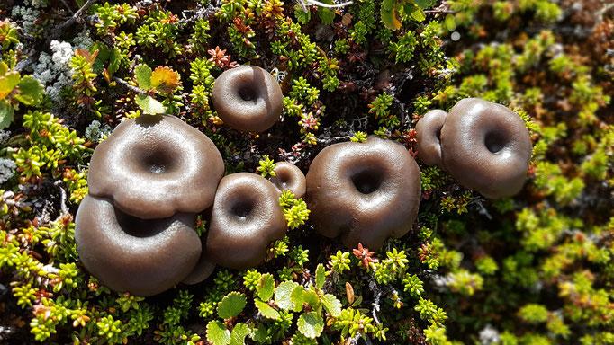 Nein, in Norwegen wachsen keine Donuts. Wer kennt diese Pilze?