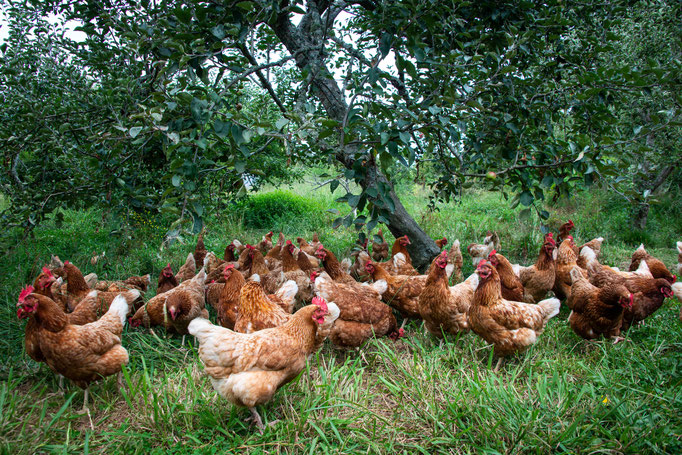 The chickens in the food forest - Les poules dans la forêt comestible
