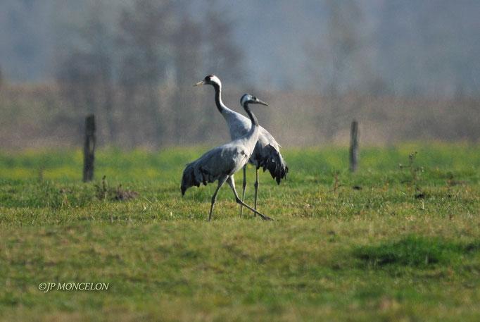 _DSC0384_1-Grue cendrée-Grus grus - Common Crane