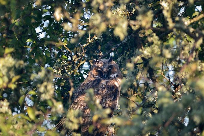 _JPM2920-Hiboux moyen-duc-Asio otus - Long-eared Owl