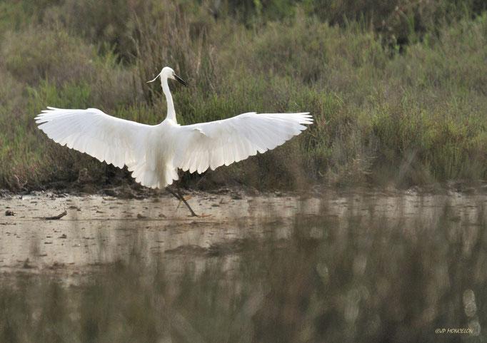 _DSC2046-Aigrette garzette-Egretta garzetta - Little Egret