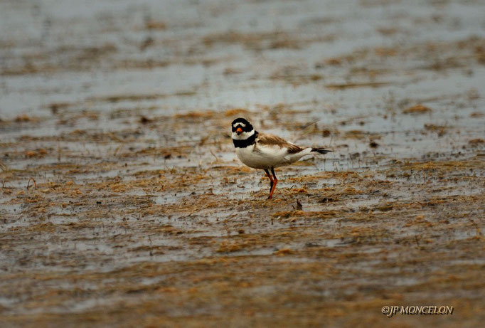 _DSC8182-Grand Gravelot-Charadrius hiaticula - Common Ringed Plover