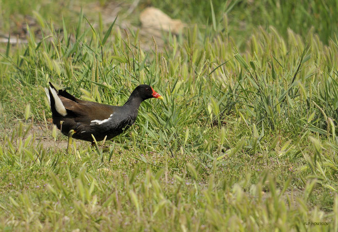 _DSC2864-Gallinule poule-d'eau-Gallinula chloropus - Common Moorhen