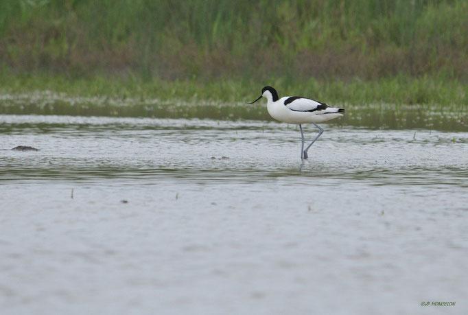 _DSC2234 Avocette élégante-Recurvirostra avosetta