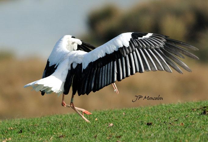 DSC_0681_Cigogne blanche-Ciconia ciconia - White Stork