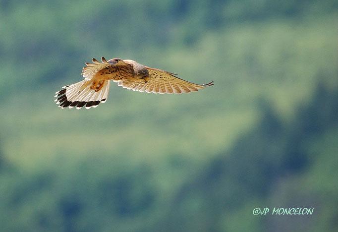 DSC_2873-Faucon crécerelle-Falco tinnunculus