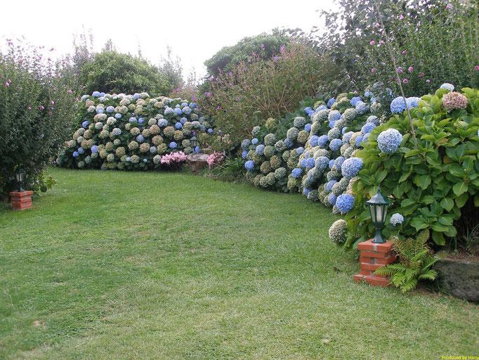 die Blüten der Hortensien  werden hier bis zu 40cm groß