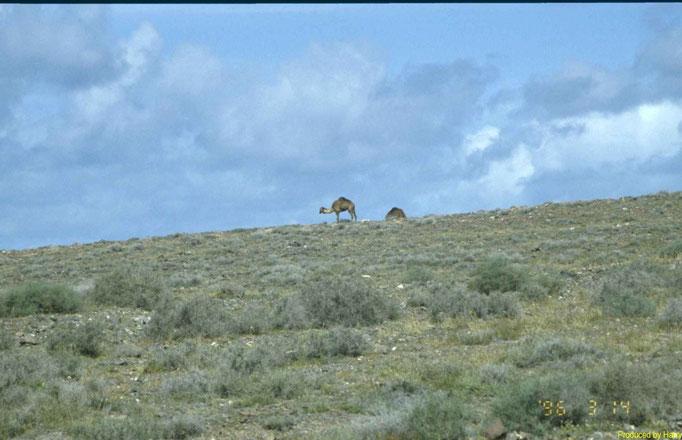 Wilde Kamele im Süden der Insel