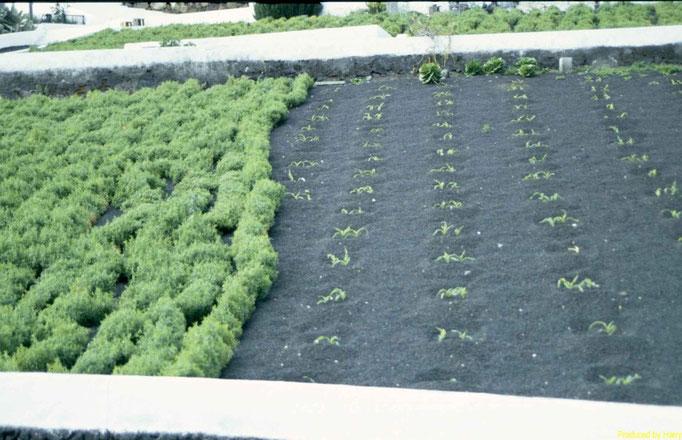 Ackerbau auf Lanzarote