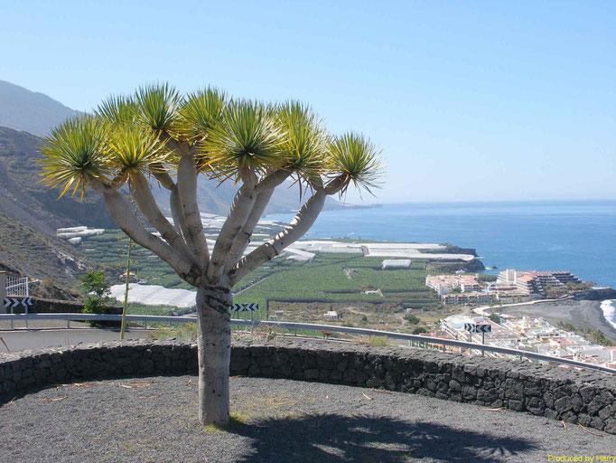 Drachenbaum bei Puerto Naos