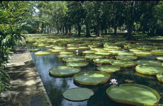 Botanischer Garten in Pamplemousses