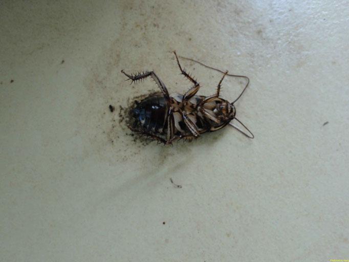 la Cucaracha  ( Kakerlake) - tooot
