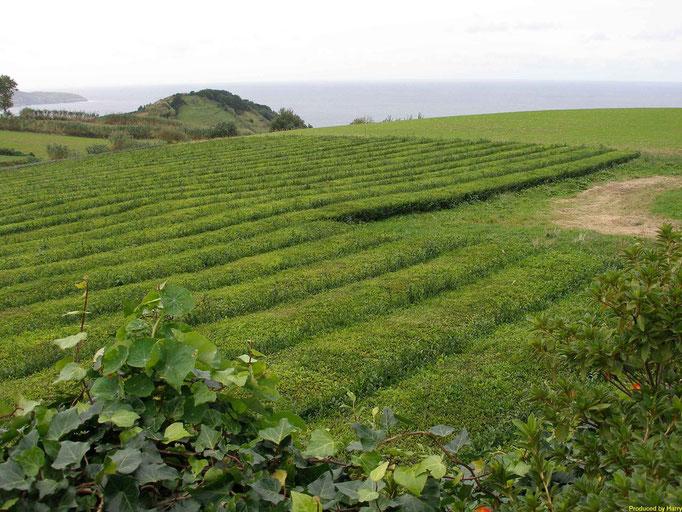kleine Teeplantage