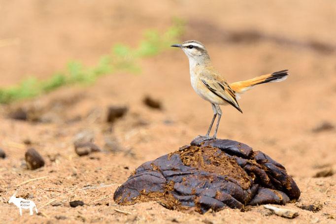 Kalahariheckensänger