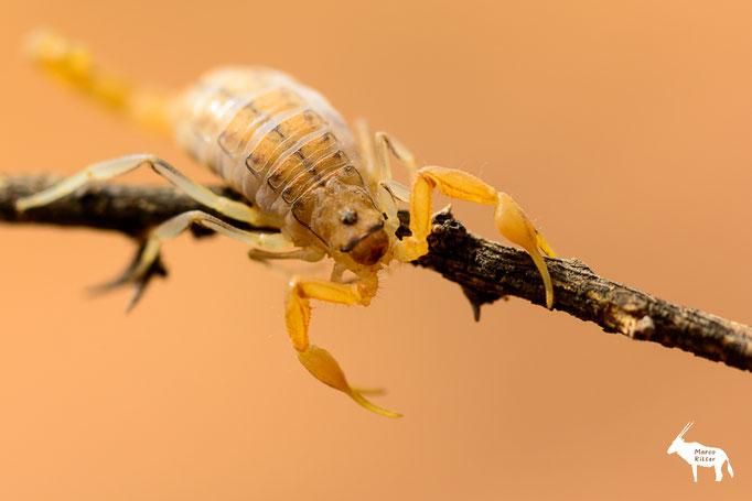 Skorpion - Uroplectes planimanus