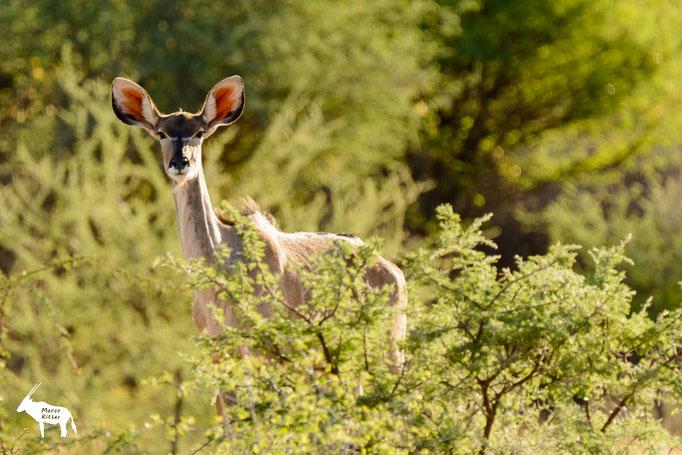 Großer Kudu (Kuh)