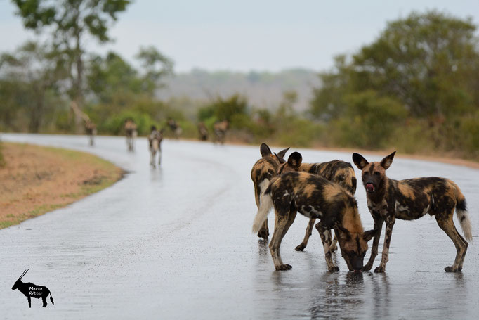 Hyänenhund / Afrikanischer Wildhund