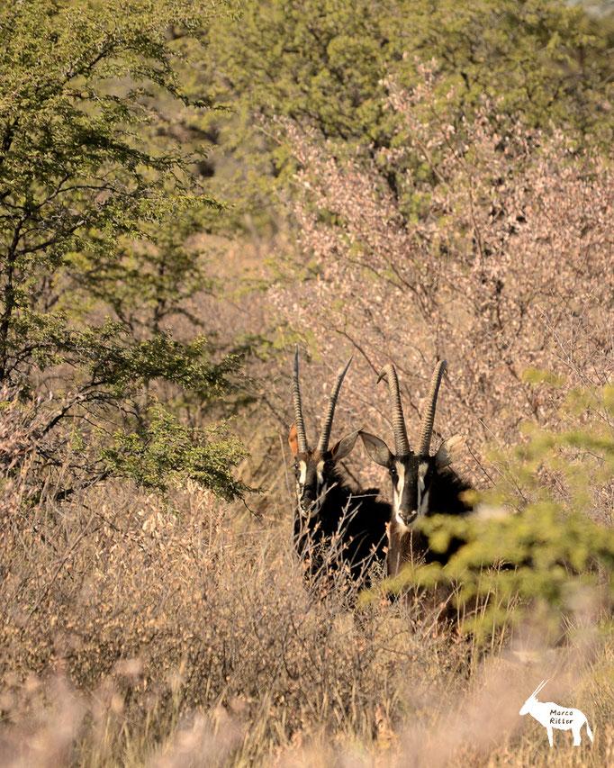 Rappenantilope / Sable