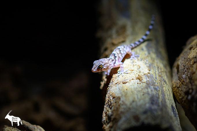 Turner's Gecko