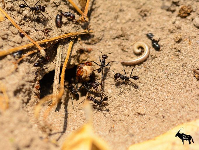 Ameisenkampf