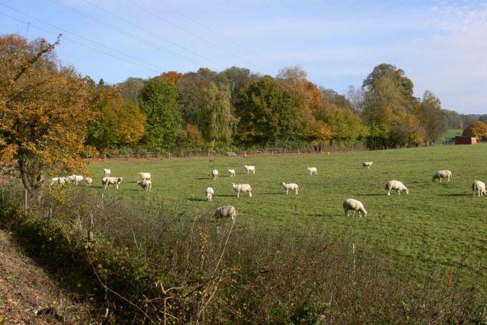 Schafe auf der Weide  Ferienwohnungen Altes Forstamt im Teutoburger Wald