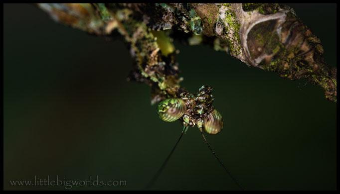 Majangella moultoni, adultes Weibchen