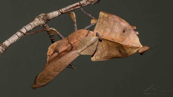 Deroplatys truncata