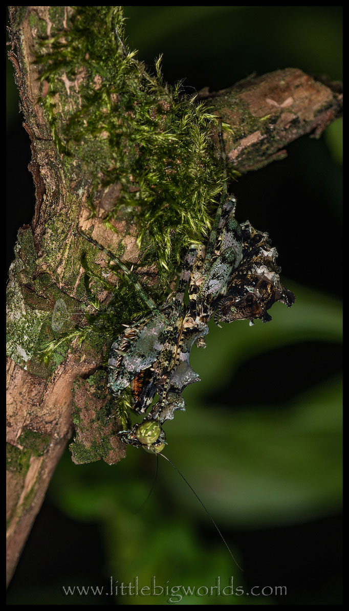 Majangella moultoni, weibliche Larve