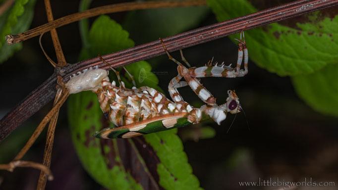 Chlidonoptera lestoni, Weibchen bei der Oothekablage