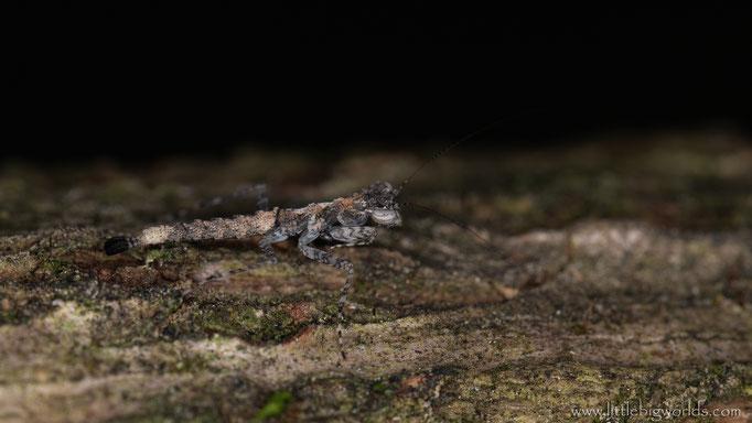 Amorphoscelis annulicornis