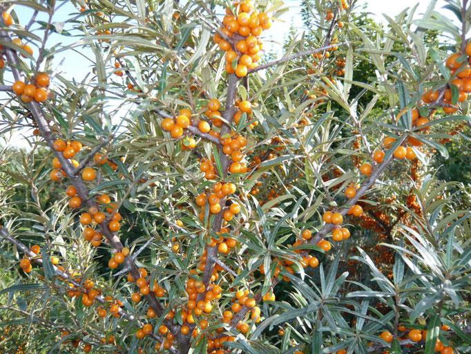 Sandorn (Hippophae rhamnoides)