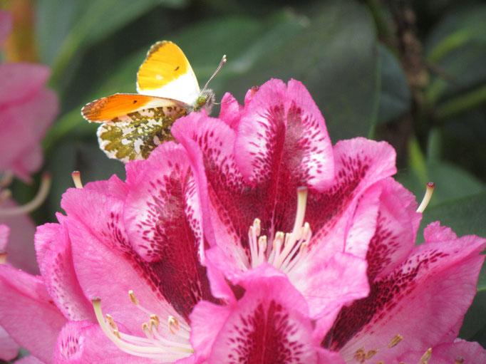 die ersten Rhododendron blühen bereits