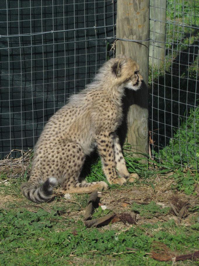 Gepardenkinder