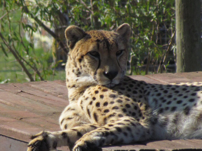 ein ausgewachsener Gepard