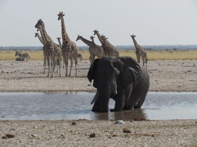Elefant im Waserloch