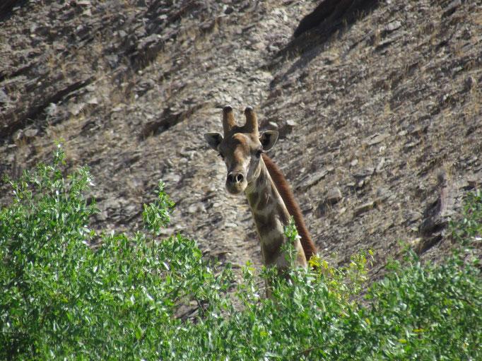 neugierige Giraffe