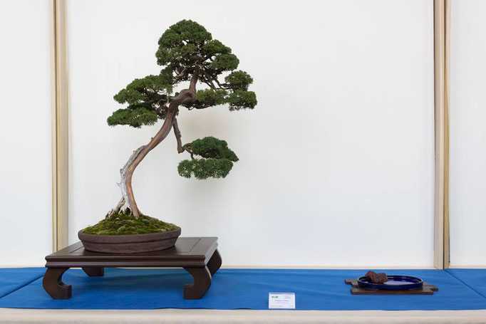 Juniperus chinensis - Bonsai Club Alessandria - 2° premio conifere