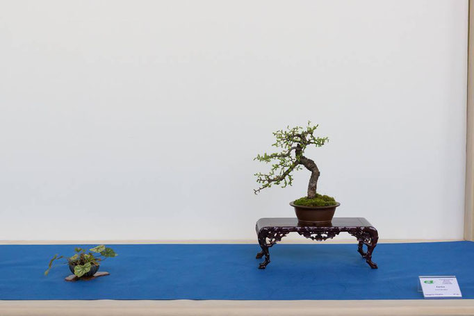 Larice - Daikon Bonsai Club
