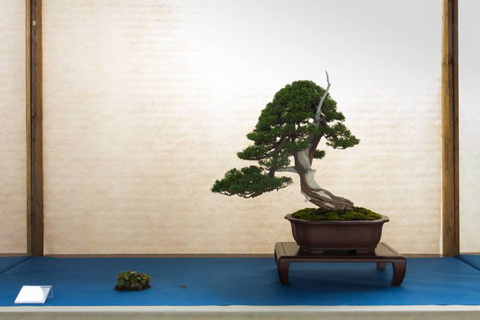 Juniperus chinensis - Bonsai Club amici del Verde - 3° premio conifere