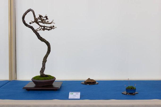 Larice - Bonsai Club Rivalta - Premio Antonella Cairoli per il bonsai
