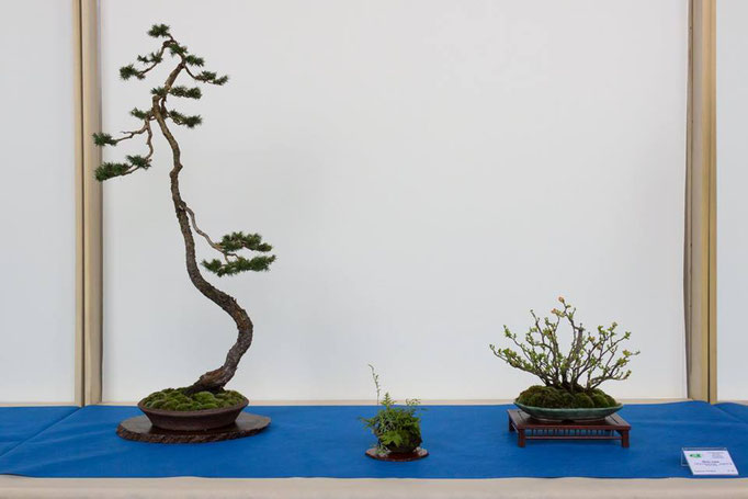 Picea abies - Brianza Bonsai