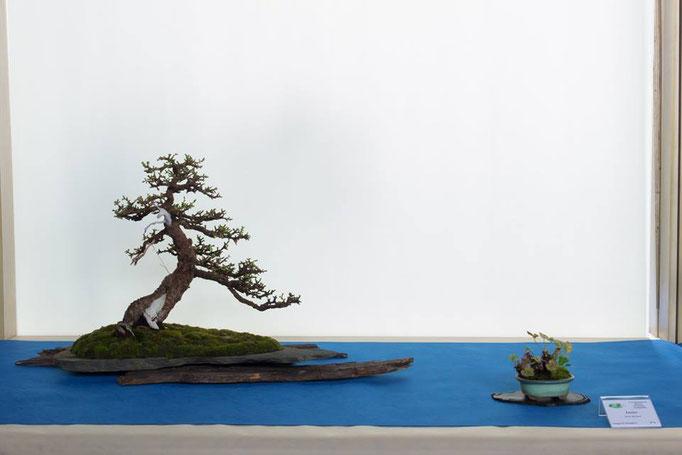Larix decidua - Bonsai Blu
