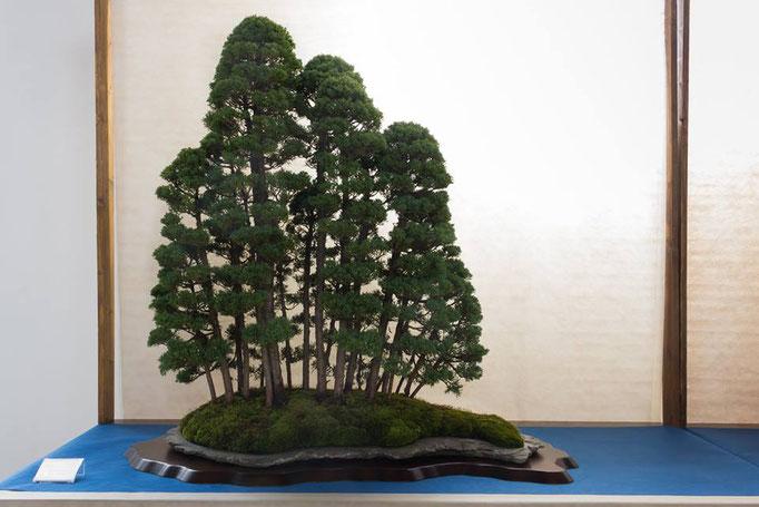Bosco di juniperus chinensis - Associazione Arte e cultura Bergamo Bonsai