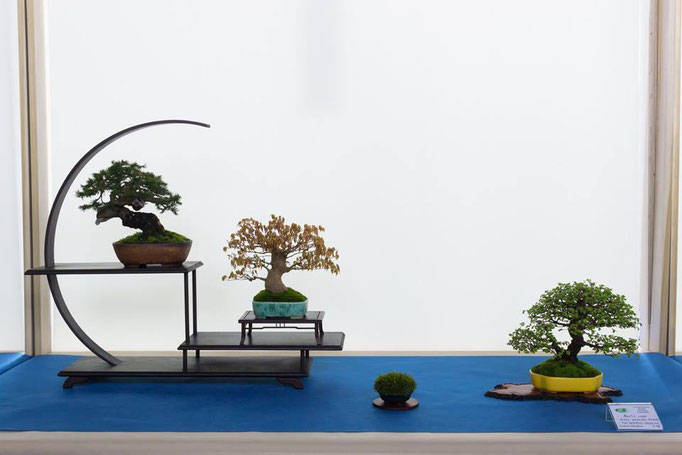 Picea abies, acero, olmo - Brianza Bonsai