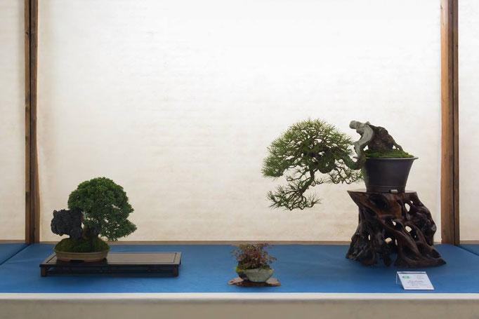Juniperus chinensis e Pino silvestre - Brianza Bonsai