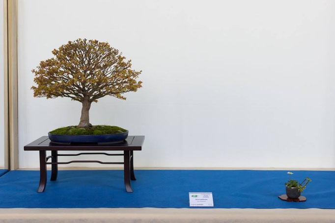 Acero palmato Giapponese - Associazione Arte e Cultura Bergamo Bonsai