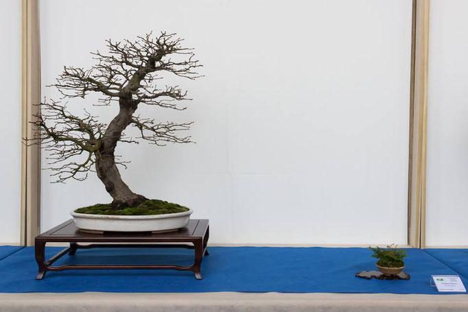Carpinus betulus - Bonsai Club Torino - 3° premio caducifoglie