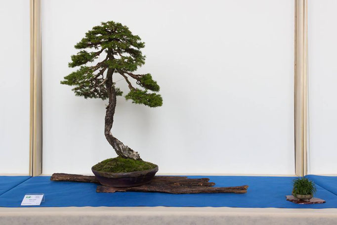 Picea abies - Bonsai Blu