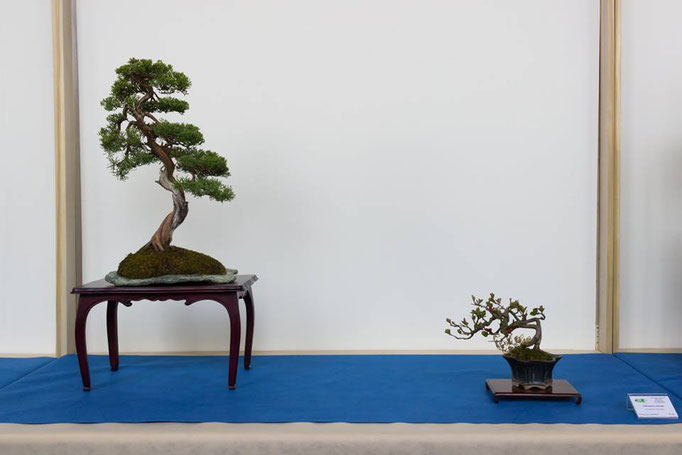 Juniperus chinensis - Bonsai Club Somma