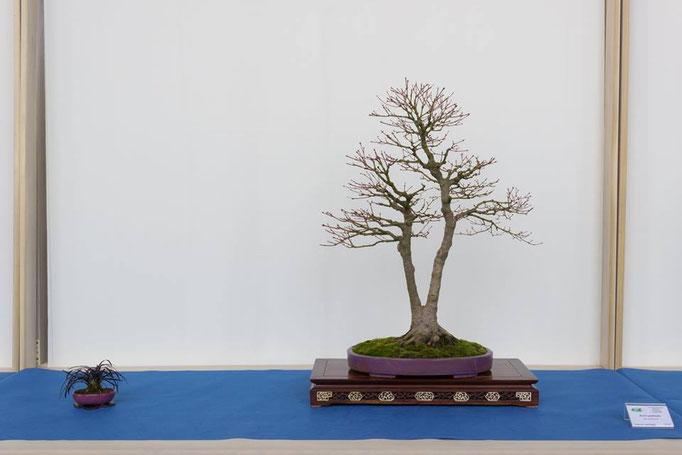Acero palmato - Mondobonsai